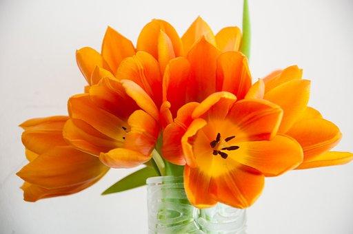 Fleurs, Tulipes, Nature, Couleurs