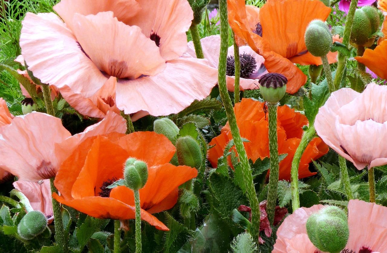 выдержала картинки цветка мак садовый мышцы можно развить