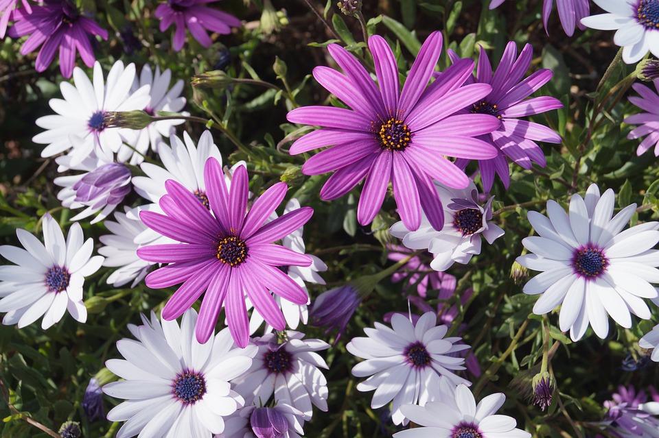 Kosmos Blume Violett · Kostenloses Foto auf Pixabay