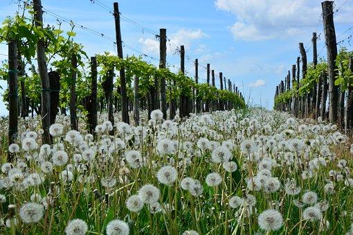 Dandelion, Vineyard, Nature, Spring