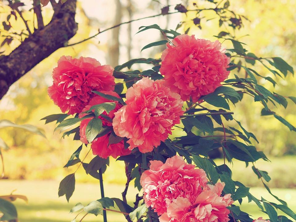 Blumen Pfingstrosen Rosa Kostenloses Foto Auf Pixabay