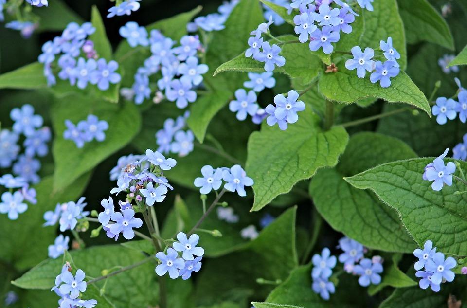 No Me Olvides Flores Azul Flor