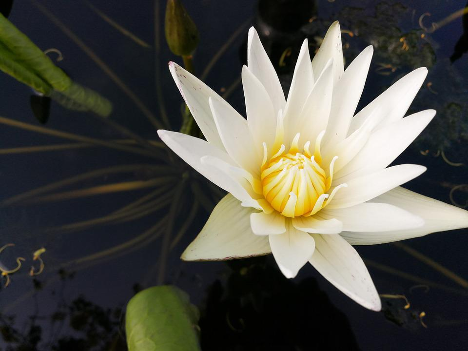 white, lotus, flower  free images on pixabay, Beautiful flower