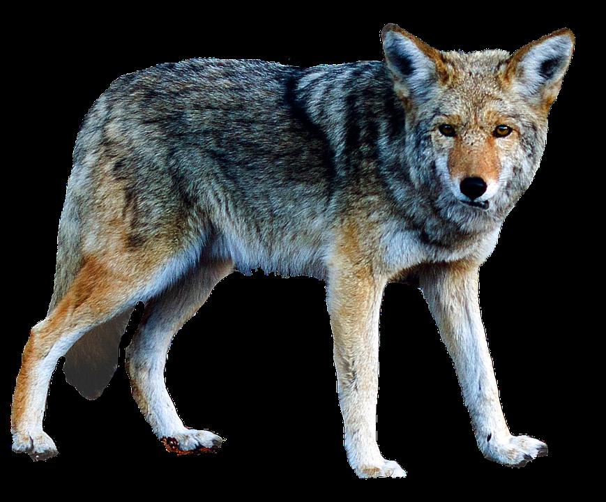 Aislado Lobo Animales La · Foto Gratis En Pixabay