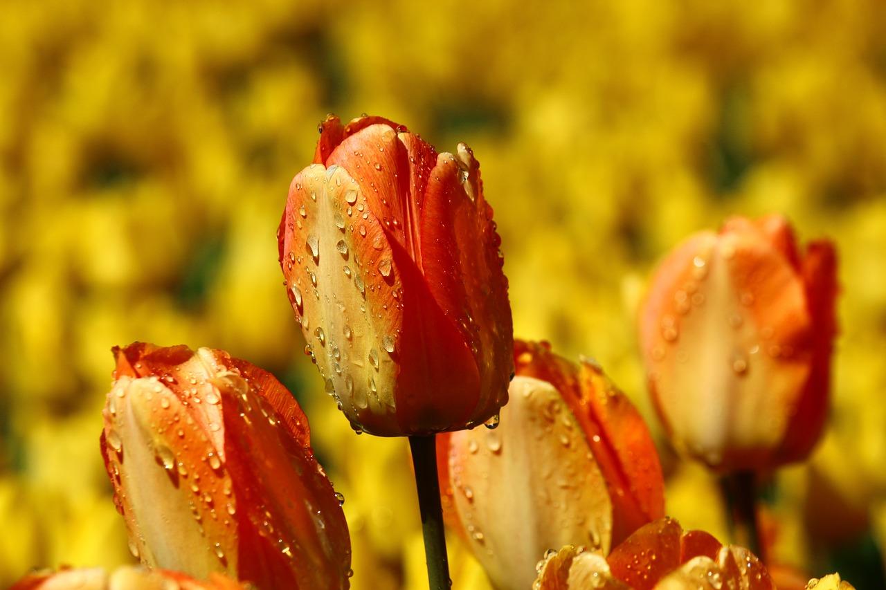 неприхотливое, тюльпаны после дождя фото высокого разрешения все