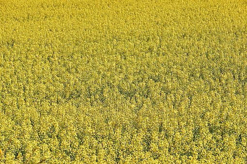 Rapeseed, Agriculture, Field Of Rapeseed