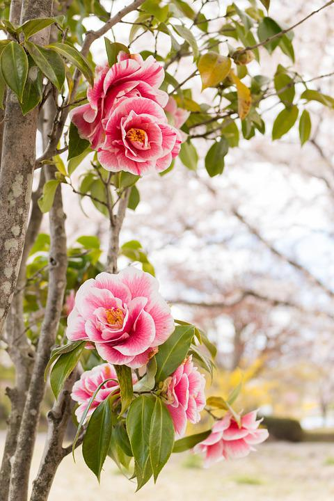 Flowers camellia spring free photo on pixabay flowers camellia spring japan red mightylinksfo