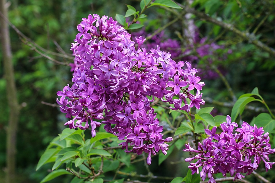 lila blomma på buske