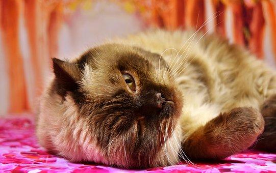 British Shorthair, Cat, Concerns, Play