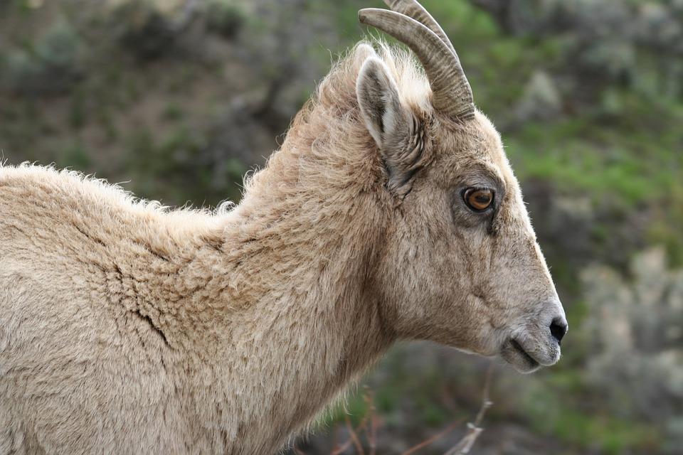 Hewan Domba Bertanduk Besar Foto Gratis Di Pixabay
