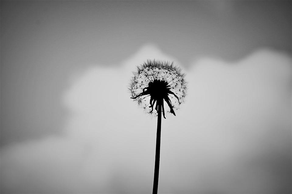Pissenlit Seul Noir Et Blanc Photo Gratuite Sur Pixabay