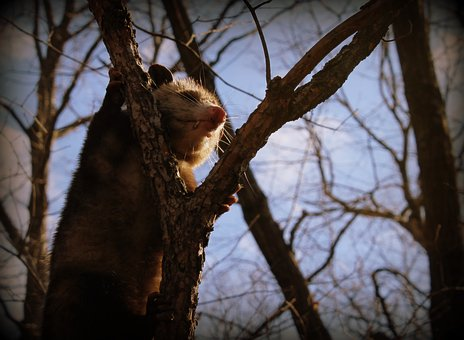 Opossum, Animal, Wild, Nature, Wildlife