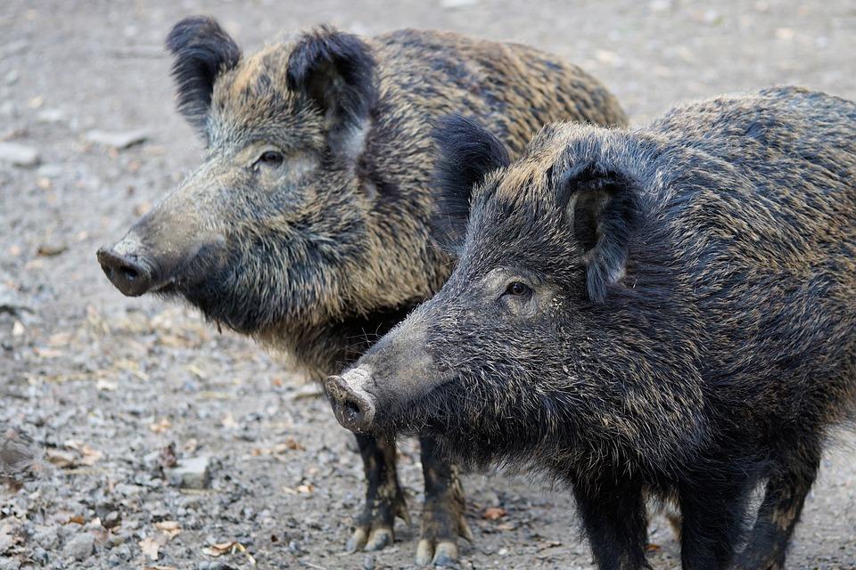 saunatur wildschwein schwein sau natur tier park tierpark facebook