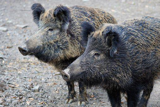 Чума на границе: власти просят свиноводов Татарстана не ходить в леса