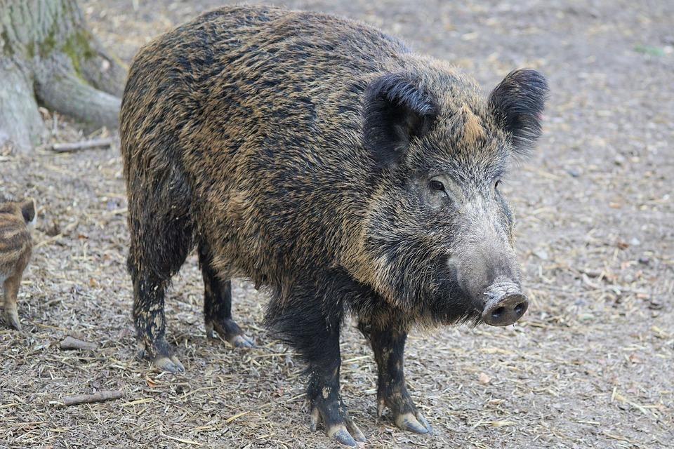 saunatur wildschwein schwein sau natur tier park tierpark piemonte