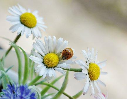 Marguerite, Fleur, Coléoptère
