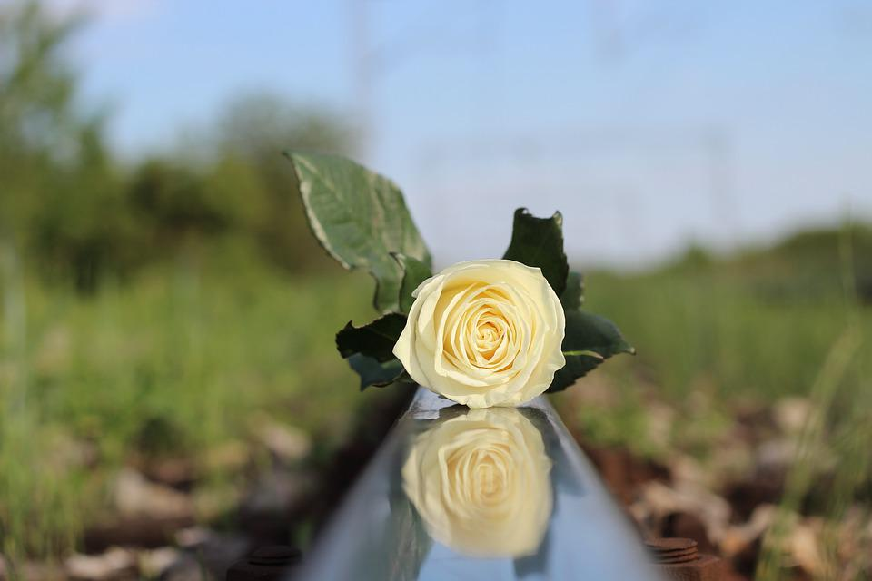 Stop Children Suicide White Rose - Free photo on Pixabay