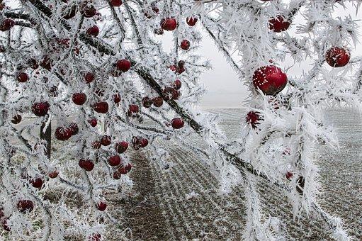 Pomme, Congelés, Arbre