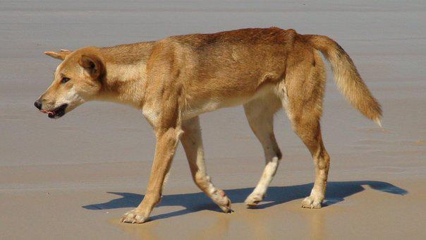 Dingo, Australia, Fraser Island