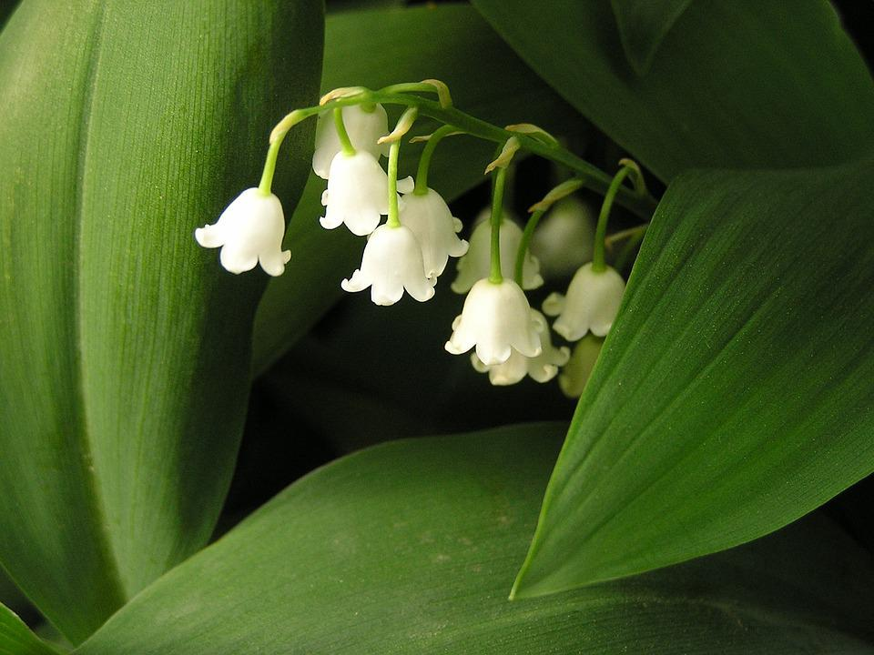 free photo lily of the valley, flower, blossom  free image on, Beautiful flower