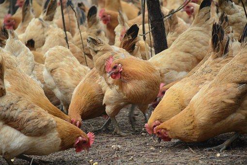 Chicken, Forest Stocking