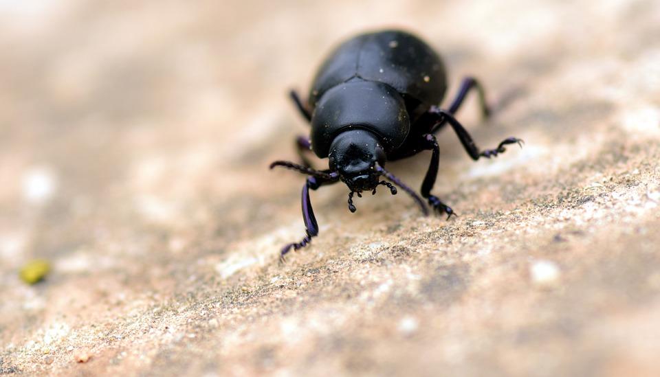 beetle black insect free photo on pixabay