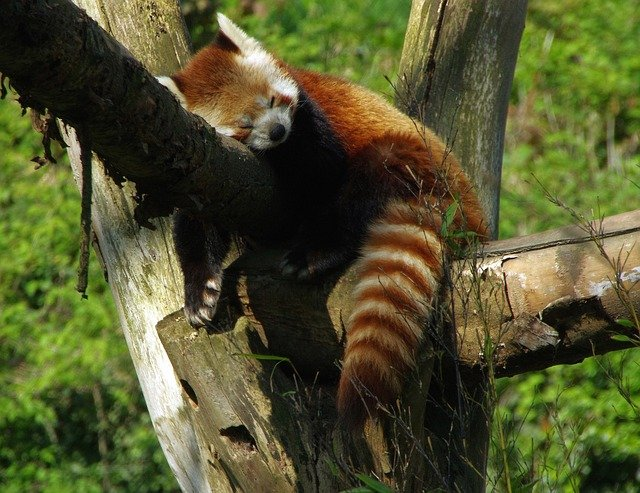 free photo  panda  roux  zoo lille - free image on pixabay