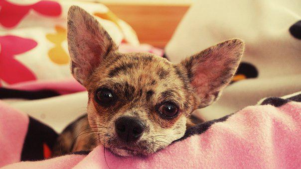 Dreamer, Chihuahua, Merle, Young Dog