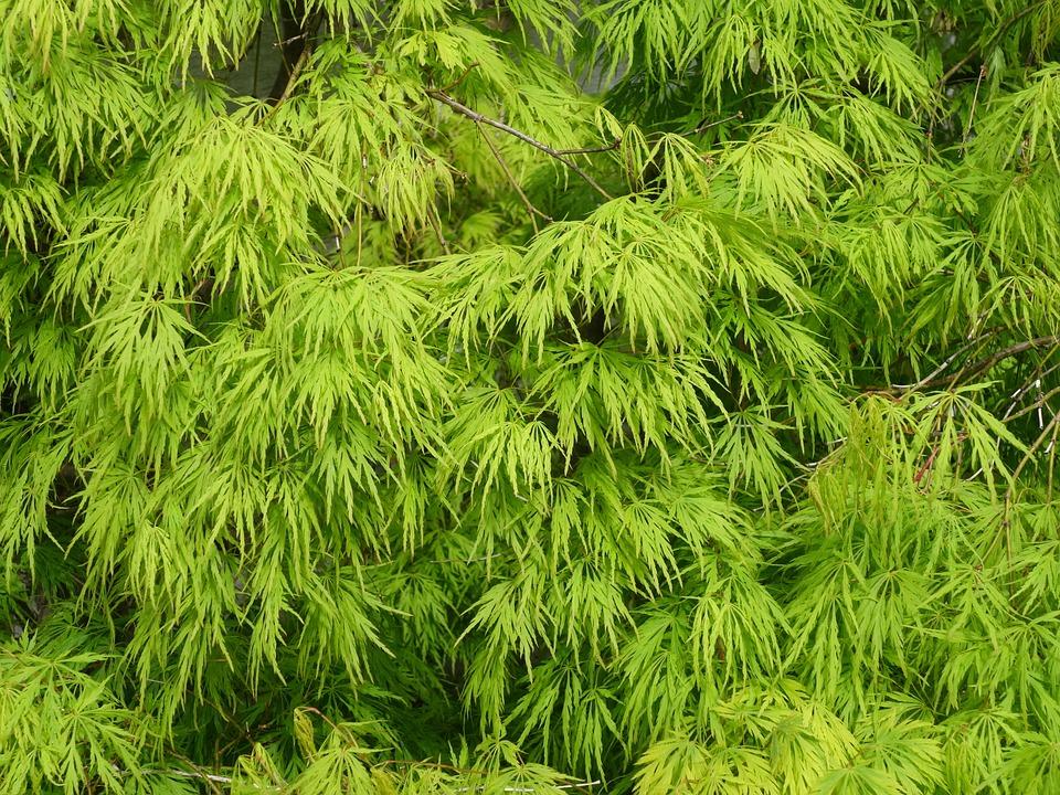Bardzo dobra Wiosną Klon Liście Krzew Ozdobny - Darmowe zdjęcie na Pixabay EH12