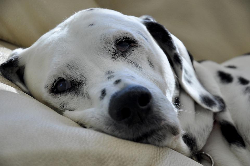 Free Photo Dalmatians Dog Stains Dog Head Free Image