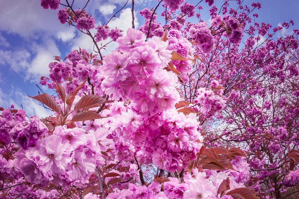 japanese cherry trees flowers pink tree flower tree - Pink Trees