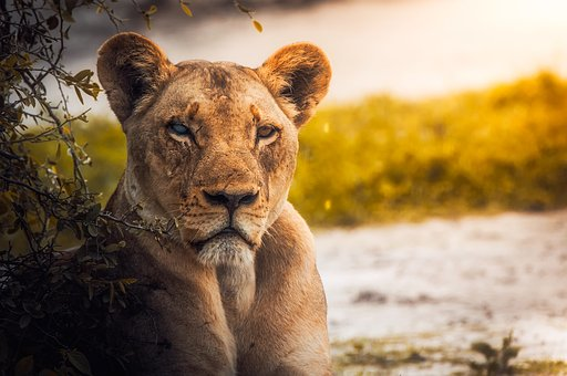 Lioness Images Pixabay Download Free Pictures