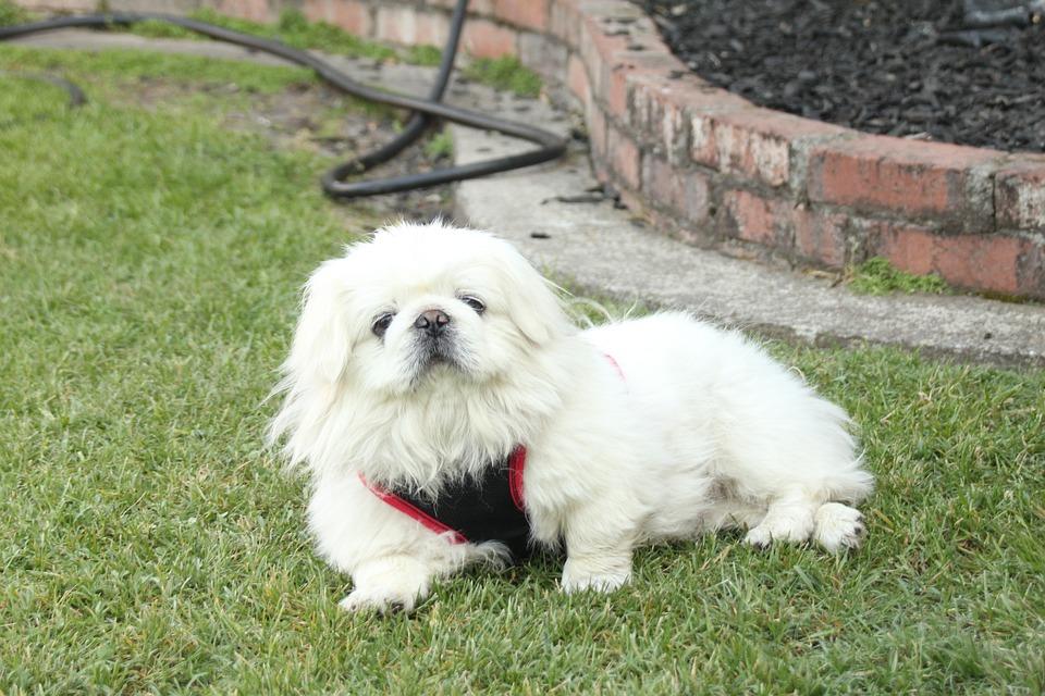 Nobu, Pekingese, Dog, Grass