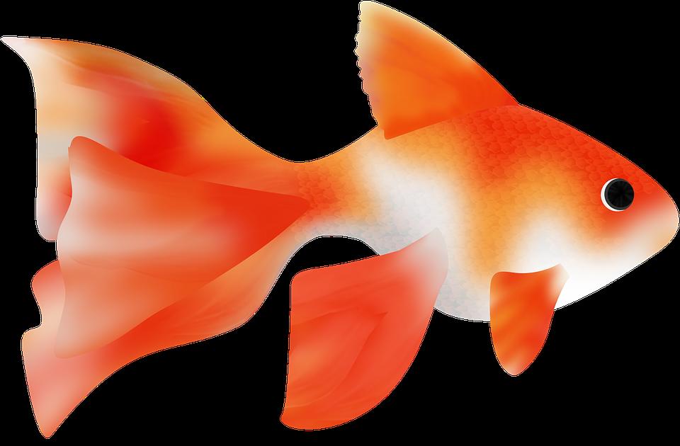 Gratis Illustration Fisk Fisk Japansk Havet Ocean