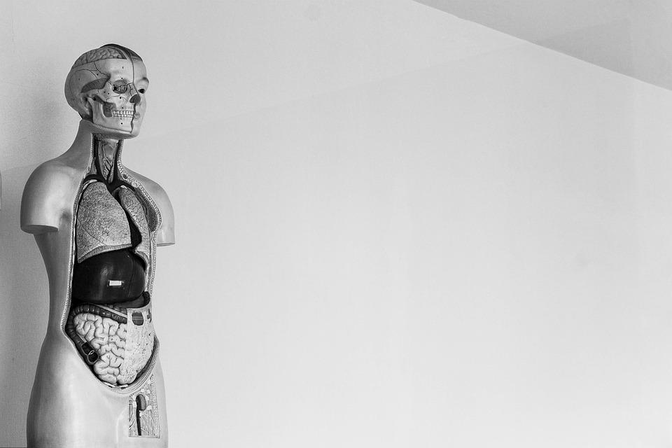 Mensch Skelett · Kostenloses Foto auf Pixabay