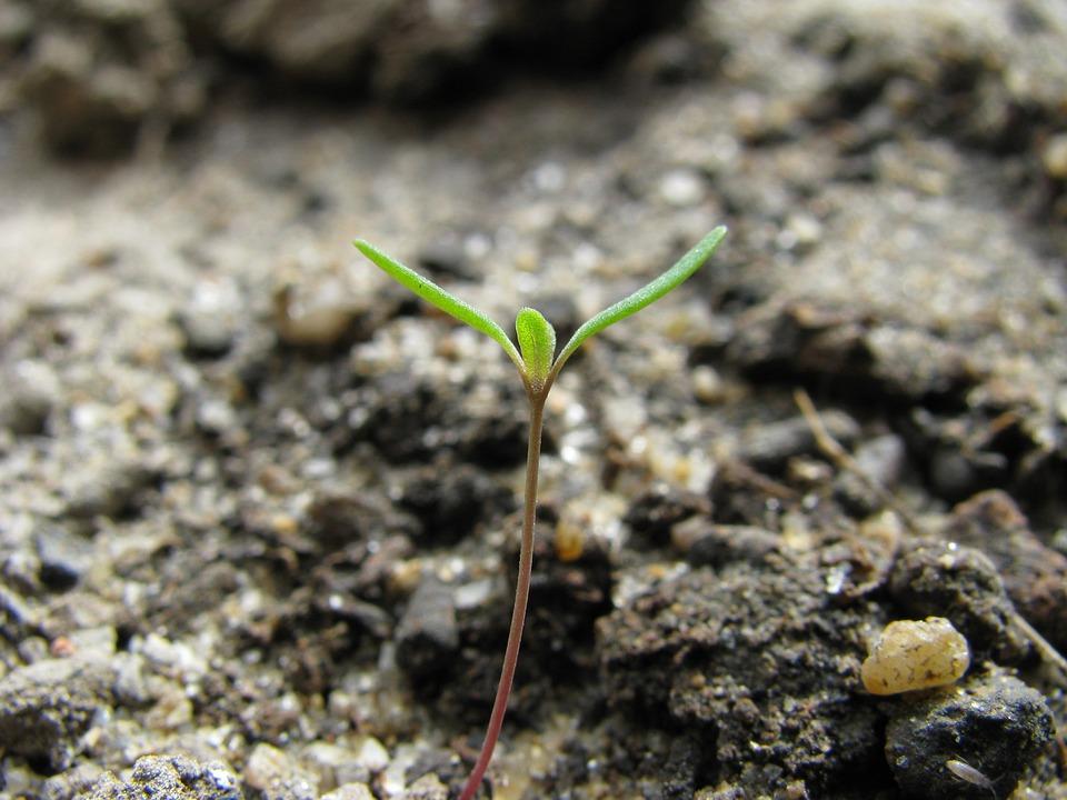 マクロ、スプラウト、発芽、植物