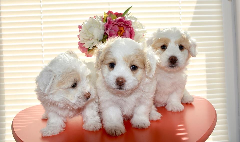 Cuccioli cane di piccola taglia foto gratis su pixabay