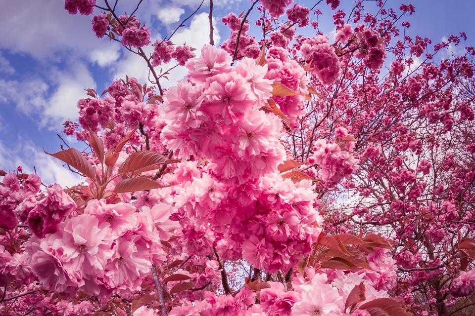 Japanese cherry trees flowers pink free photo on pixabay japanese cherry trees flowers pink tree flower tree mightylinksfo