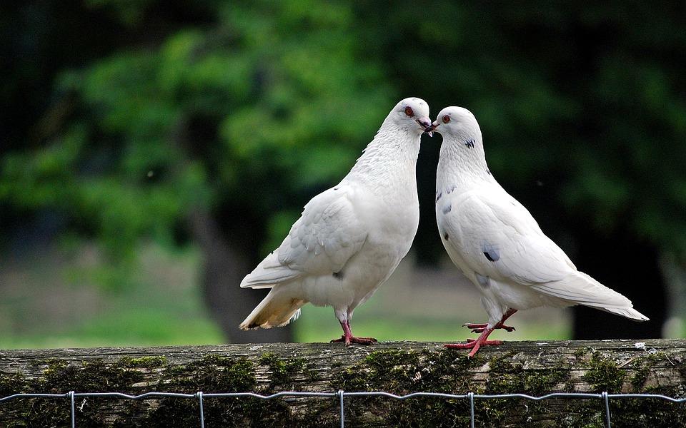 Περιστέρι, Πουλί, Άγρια Ζώα