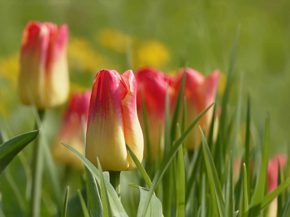 Tulip Flower Tulipa Yellow Red Spring