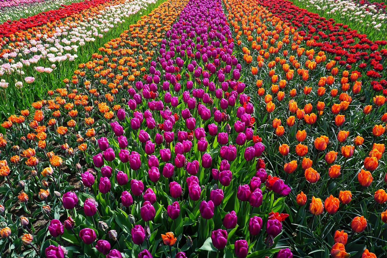 Папе февраля, картинки голландия тюльпаны