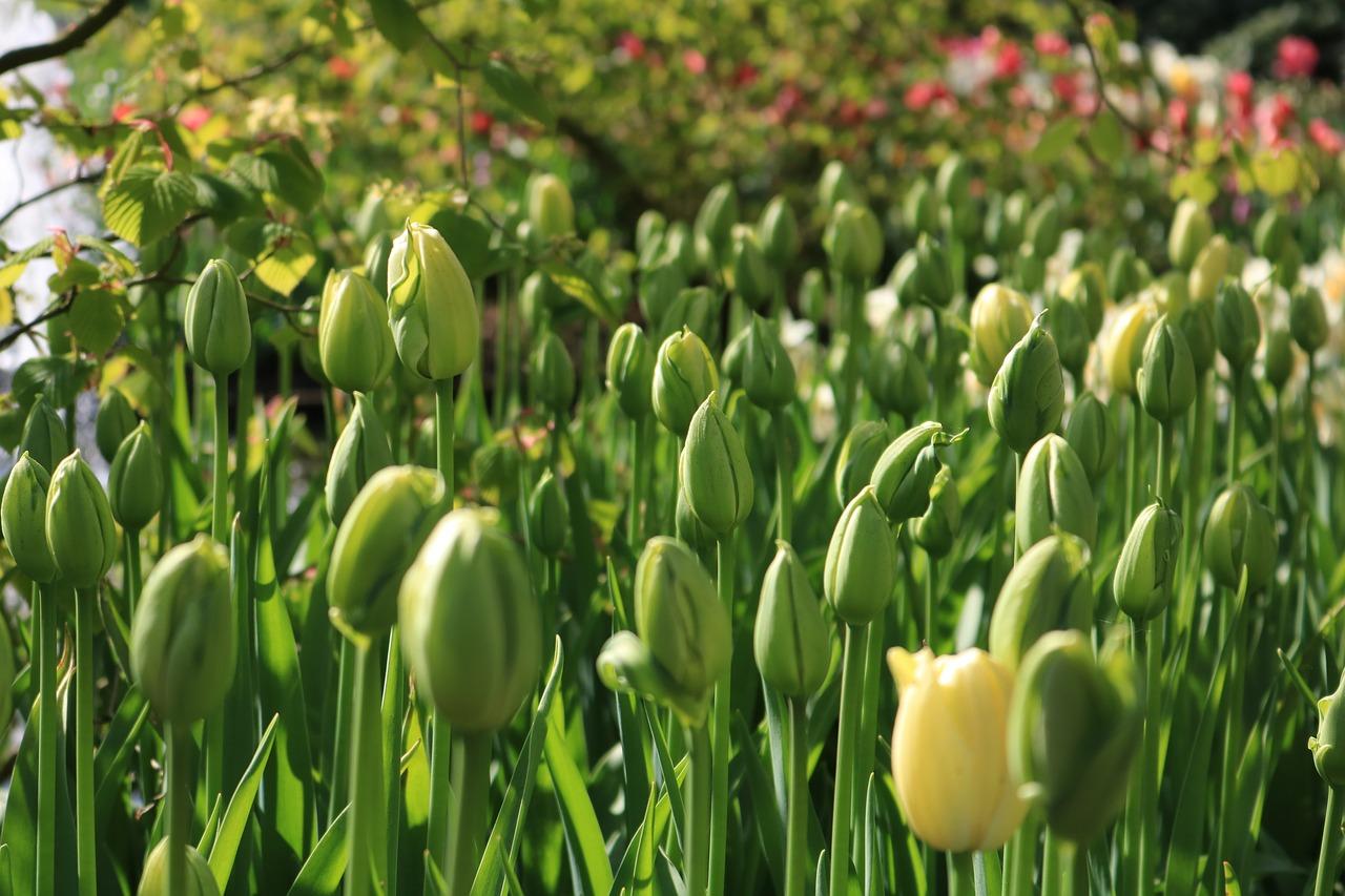 Питиум на тюльпанах фото вот, офлайне