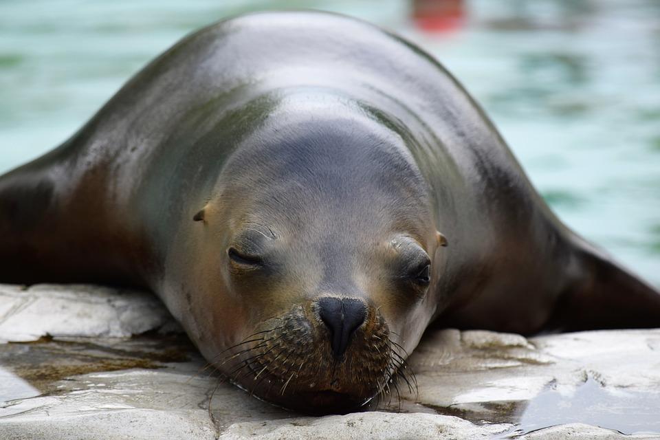 Lobo De Mar Zoológico Descanso · Foto gratis en Pixabay