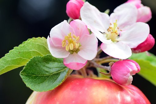 Apple, Apple Blossoms, Spring, Blossom