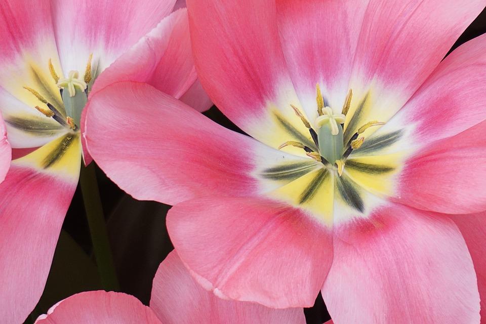 Tulip flower bloom spring free photo on pixabay tulip flower bloom spring flowers flowers spring mightylinksfo