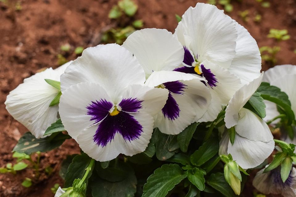 Stiefmütterchen Blume Weiß · Kostenloses Foto auf Pixabay