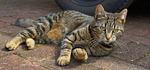 cat, domestic cat, female