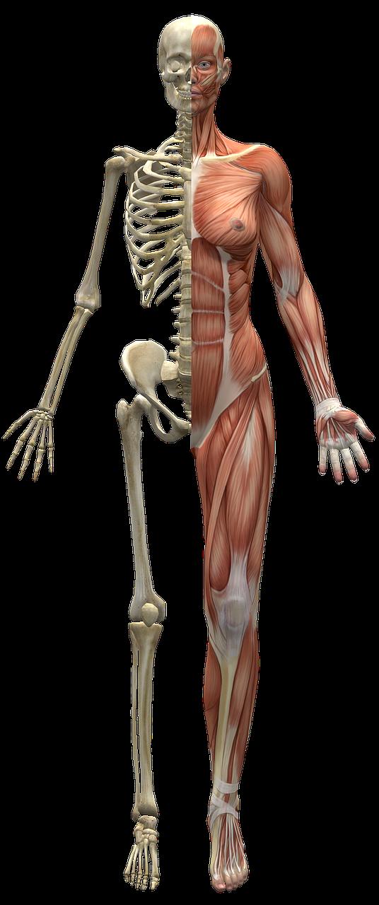 никогда скелет человека с мышцами фото принты могут быть