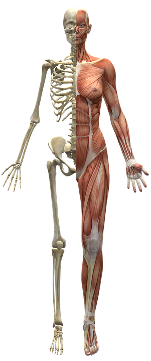 Muscles Skeleton Half Body Human · Free image on Pixabay
