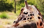 giraffe, animal, mammal